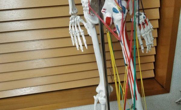 骨格模型に輪ゴムをつけて筋肉を可視化してみた。